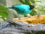 Green Honeycreeper 2