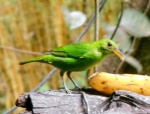 Green Honeycreeper 1