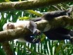 Capuchin sleeping