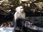 Capuchin at Manuel Antonio