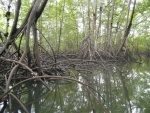 Mangroves on the Sierpe River