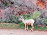 desert big horn sheep1 (Large).jpg