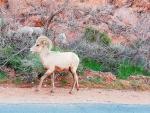 desert big horn sheep2 (Large).jpg