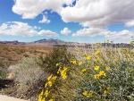 Lake Mead wildflowers (Large).jpg